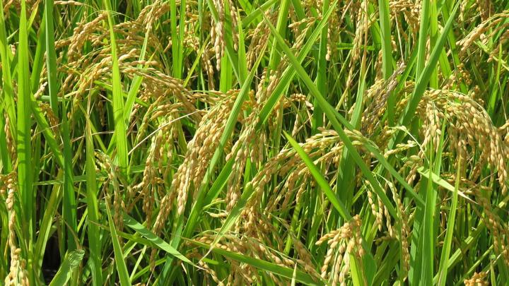 使用無毒肥料的一期稻作,稻穗更加飽滿,米粒更多。記者潘俊偉/攝影