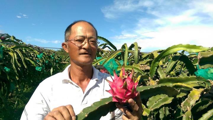 宜蘭縣壯圍鄉農民何信樂堅持以有機農法栽種紅龍果,獲得市場認同。記者戴永華/攝影