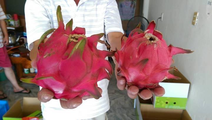 宜蘭縣壯圍鄉小農何信樂從一名門外漢變成專家,他栽種的有機紅龍果,約1台斤重。記者戴永華/攝影