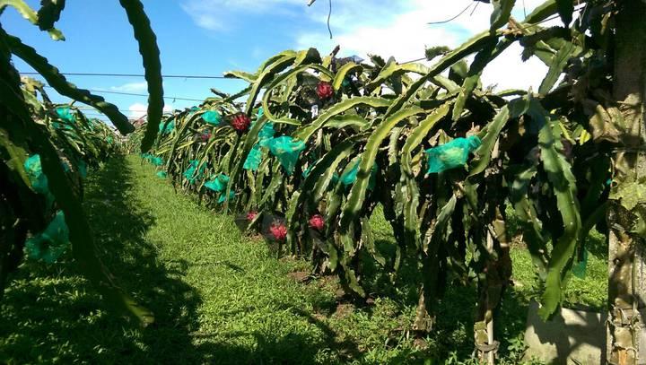 壯圍鄉果農何信樂栽培紅龍果,是宜蘭縣第一個獲得有機認證的紅龍果園區。    記者戴永華/攝影