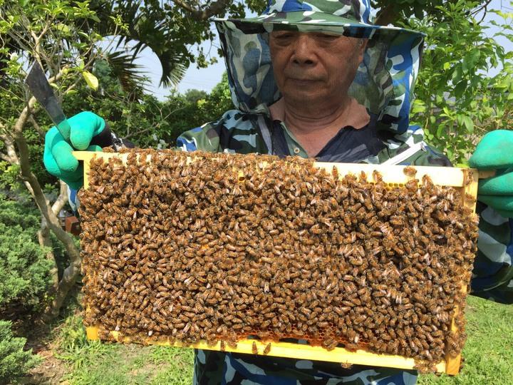 有機農業專家陳世雄一年前因參加一場養蜂研習班,搬了一箱蜂箱回家,原來只是抱著養好玩,沒想到蜜蜂迅速增加,已增加到12箱,他說,也許是因為他家是完全不噴農藥的有機農場,所以蜜蜂住的很安心吧。圖/陳世雄提供