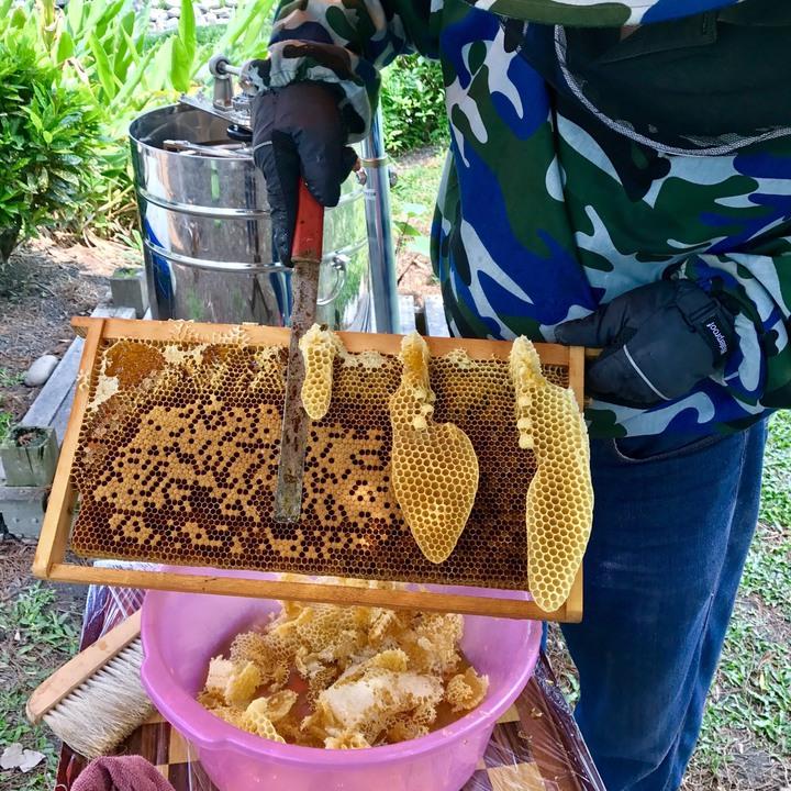 今年蜂蜜產量為歷史新低,量少價格也提高,因蜂農反映蜜蜂大量死亡,疑和農民使用益達胺農藥有關係,陳世雄家養的蜜蜂在春季還能採到不少蜂蜜。圖/陳世雄提供