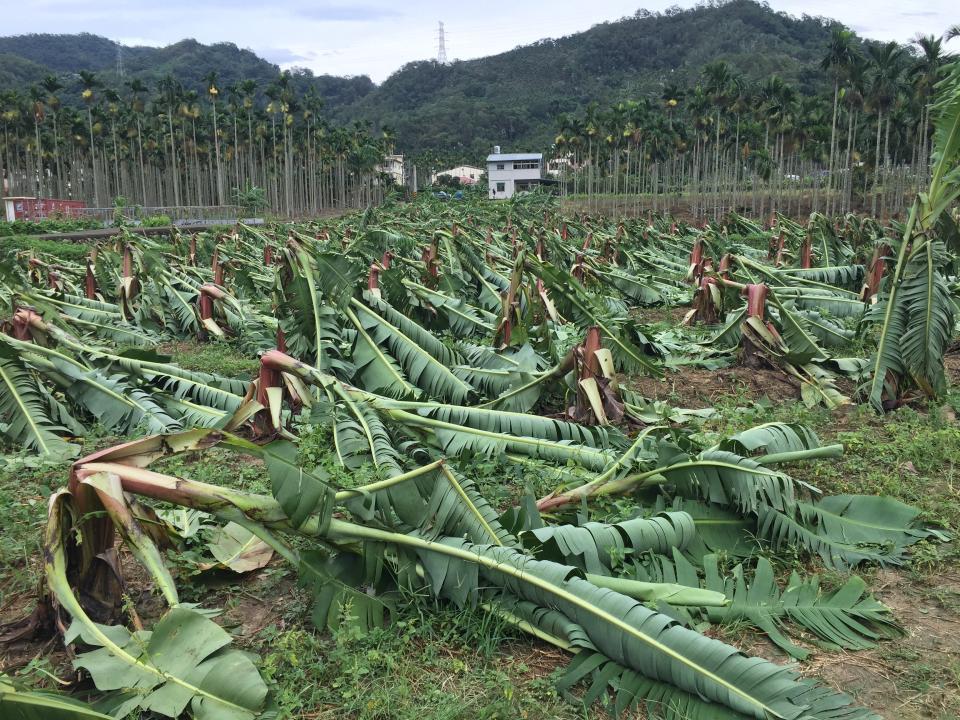 去年強颱過境,蕉農損失慘重。  本報資料照片