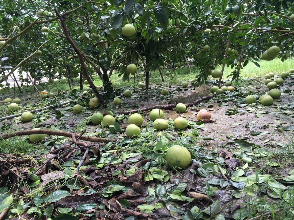 西施柚被暴雨強風打落。  本報資料照片