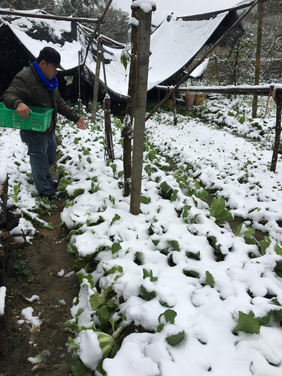 去年一月霸王級寒流來襲,海拔僅七百多公尺的苗栗向天湖南庄栽種的高冷蔬菜如高麗菜、大白菜等都覆蓋一層白雪,重創台灣農業。本報資料照片