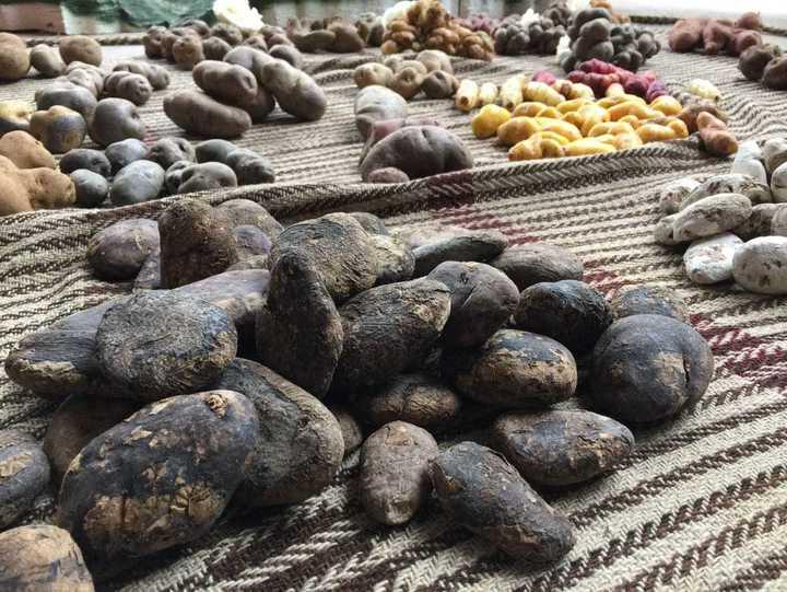秘魯是馬鈴薯的家鄉,馬鈴薯公園種植超過六百種馬鈴薯。記者蔣宗裕/攝影