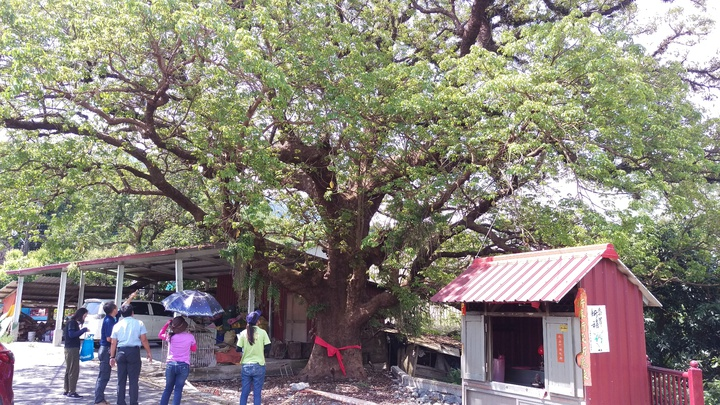 高雄市政府農業局為保護維護老樹,除了幫珍貴列管老樹治療疾病管理外,還辦列管老樹監管人單位60小時的基本的養護及照顧課程外,今年更是全國首創出動空拍機拍下「老樹故事」幫老樹留下珍貴影像。 記者謝梅芬/攝影