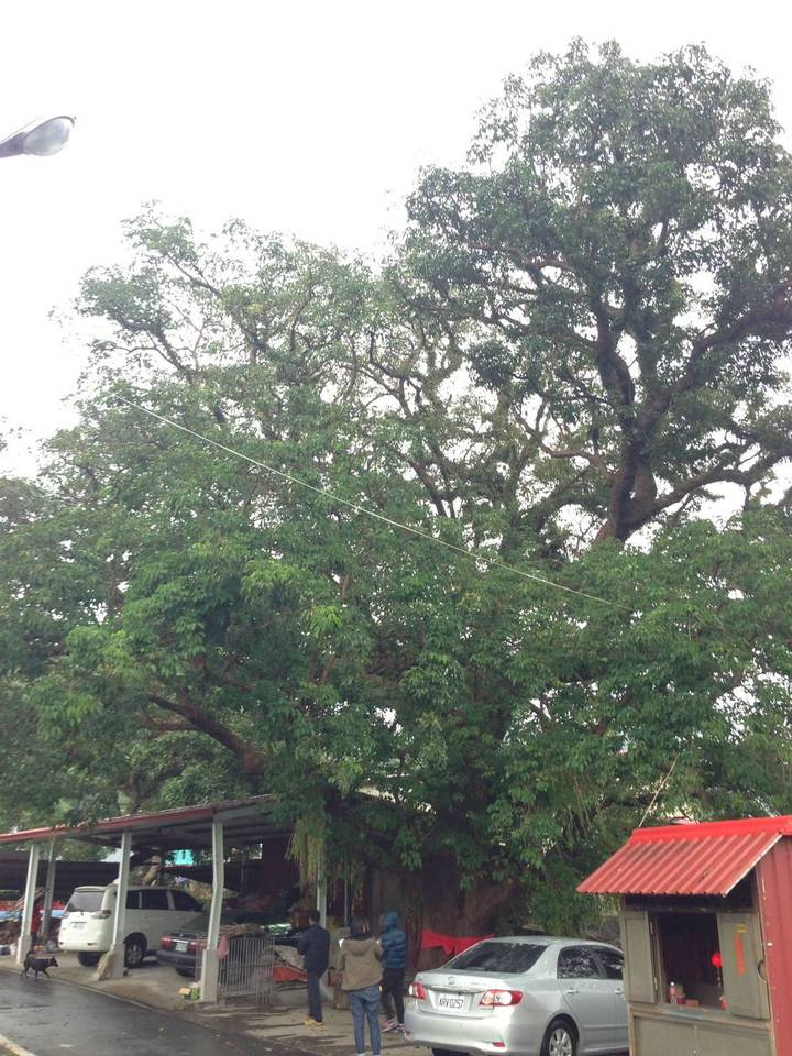 高雄市政府農業局為保護維護老樹,辦列管老樹監管人單位60小時的基本的養護及照顧課程外,今年更是全國首創出動空拍機拍下「老樹故事」幫老樹留下珍貴影像。記者謝梅芬/攝影