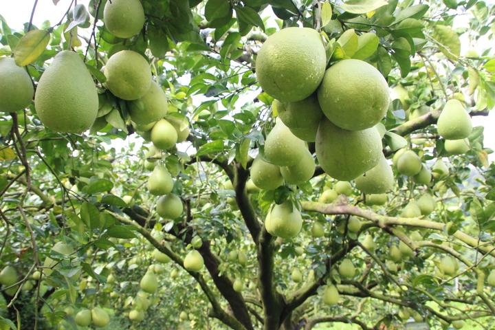 花壇文旦柚產量增加2成,最近開始收成。記者林敬家/攝影