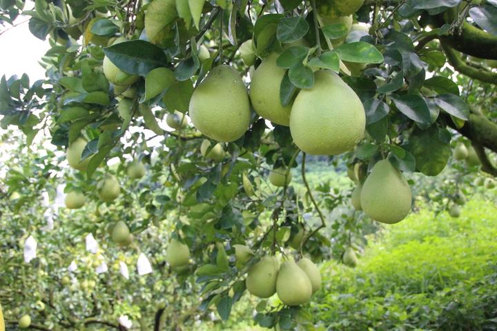 今年風調雨順,花壇文旦柚產量增加2成。記者林敬家/攝影