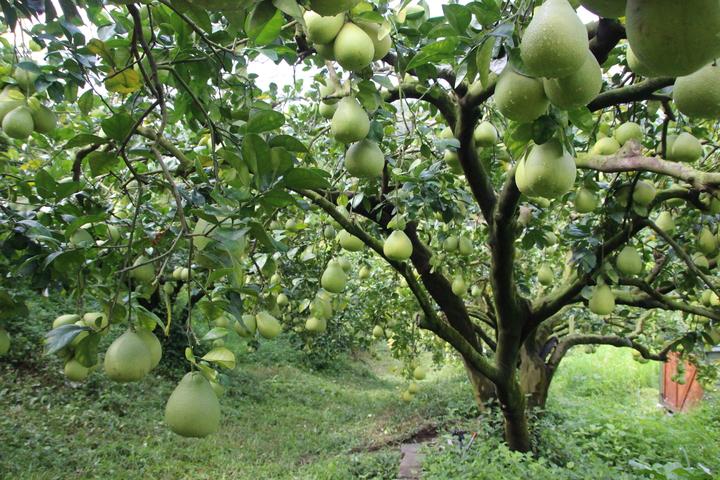 文旦柚結實纍纍,形成柚子隧道。記者林敬家/攝影