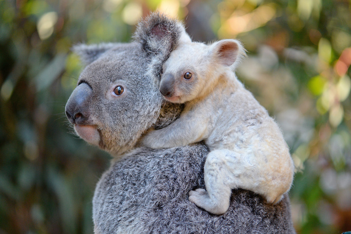 白色小無尾熊,模樣可愛討喜。圖/澳大利亞動物園提供