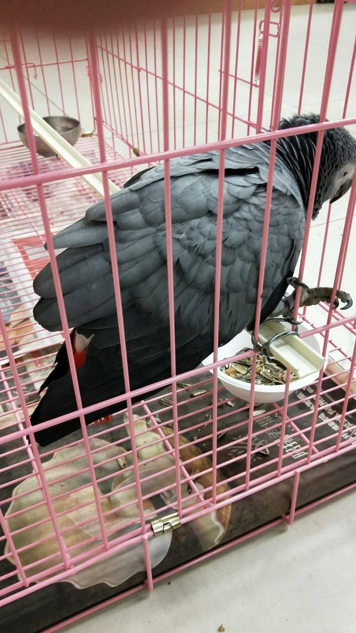 一隻「飛失」鸚鵡昨天被送到中壢警分局青埔派出所,留置一夜主人趕來認領。記者鄭國樑/翻攝