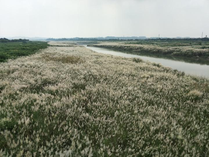 秋意濃烈,曾文溪台南大內沿線可見甜根子草,如雪白地毯迷人,美不勝收。記者謝進盛/攝影