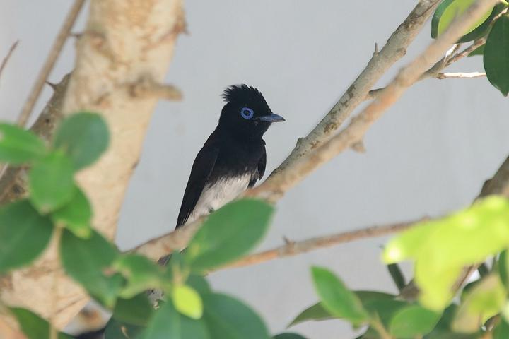 彭佳嶼上有過境鳥「紫綬帶」。記者曾健祐/攝影