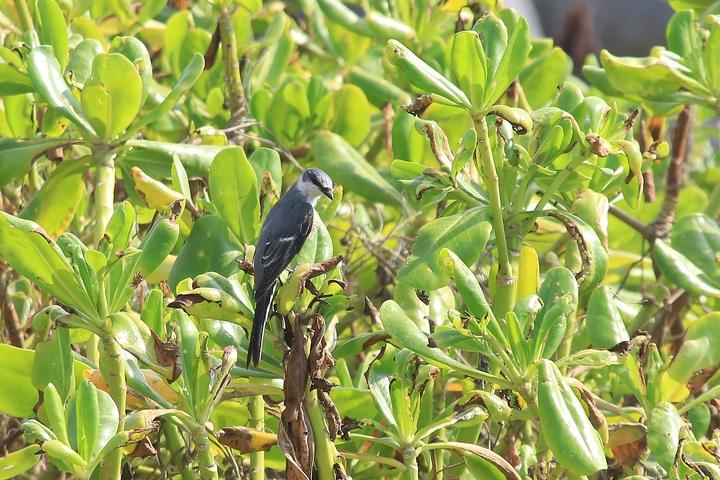 1隻灰山椒停棲在彭佳嶼海邊的職植物上。記者曾健祐/攝影
