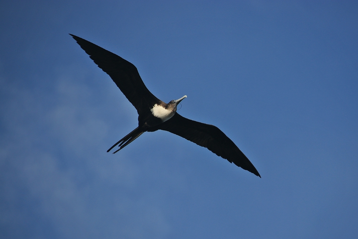 在台灣海域稀少的「大軍艦鳥」,昨天一早出現在棉花嶼海域,展開雙翅優雅地在空中翱翔。記者曾健祐/攝影