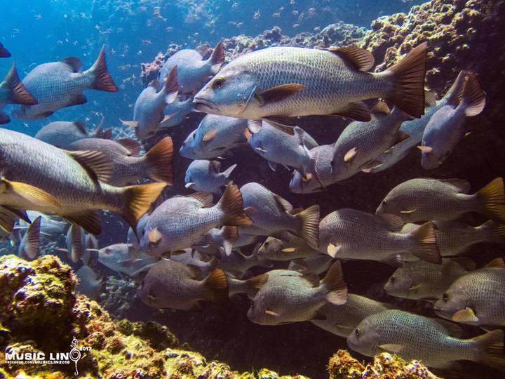國立臺灣海洋大學海洋生物研究所教授陳義雄,在南方四島研究魚類群聚與生態,終於找到最後一塊拼圖,揭開銀紋笛鯛神秘的一生。圖/潛水教練林音樂提供