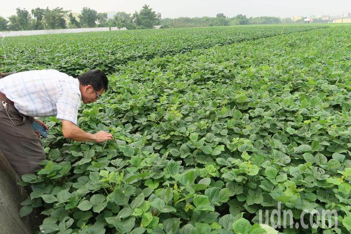 屏東縣萬丹鄉農會與屏科大合作,試驗採行自然農法的紅豆田,鼓勵農民友善大地。記者翁禎霞/攝影