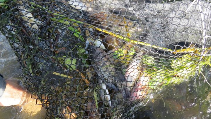 苗栗縣河川生態協會等有關單位拆除後龍溪定置網,截流非法撈捕,水中動物無一倖免。記者范榮達/攝影