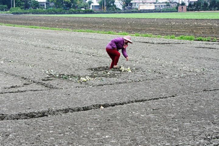 雲林縣農業缺工嚴重,近日有農民因為找不到工人採收,只好忍痛耕鋤價值30萬元的甘藍。記者陳雅玲/攝影