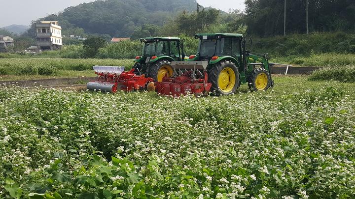 苗栗縣西湖鄉的蕎麥田,目前仍有花海的景觀。記者胡蓬生/攝影