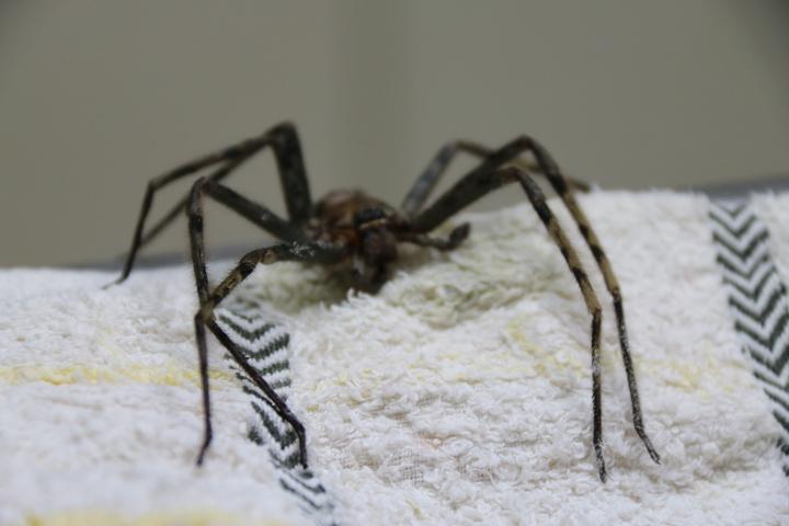 白額高腳蛛一般以昆蟲和蟑螂為食。圖/黃姓讀者提供