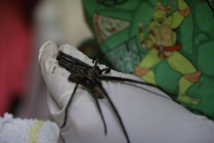 白額高腳蛛大都棲息在屋子裡。圖/黃姓讀者提供