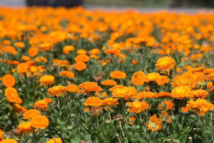 硫華菊又名黃波斯菊。圖/吳芳銘提供