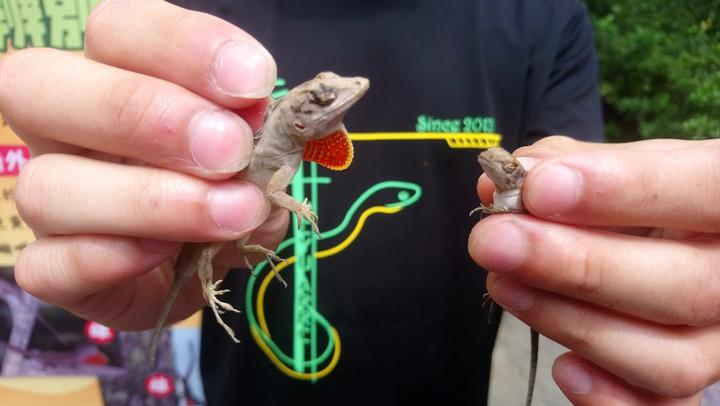 嘉大學生說明,公沙蜥有喉囊很好辨認。記者卜敏正/攝影