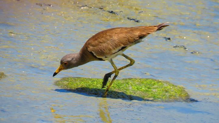 荒野保護協會嘉義分會解說員兼林務局國家森林志工蘇家弘,在嘉義縣沿海布袋鎮台17線134K附近,發現1隻稀有過境鳥跳鴴,又稱為灰頭麥雞。圖/蘇家弘提供