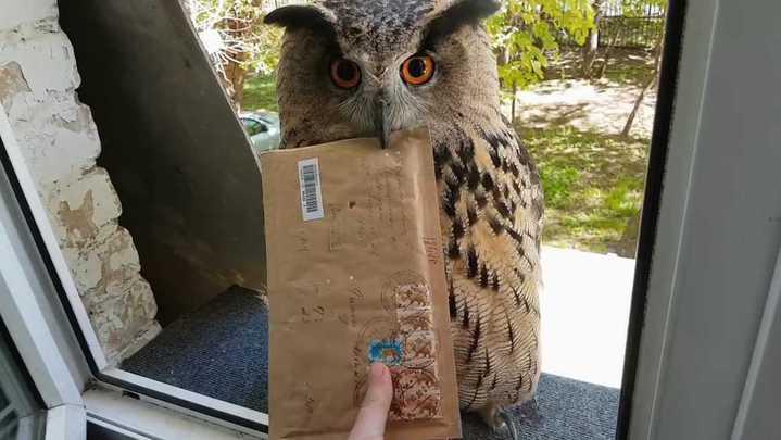 懂得送信的貓頭鷹「Yoll」。根據飼主自述,牠來自繁殖場,雖不適合野放,但受到完善的照顧與訓練。擷取自Yoll/YouTube