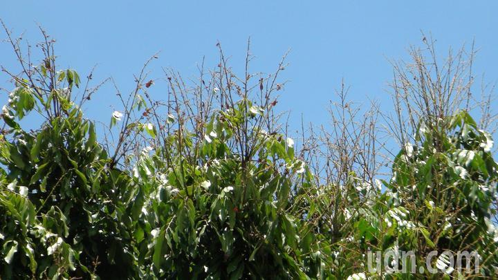 遭到大群荔枝椿象侵襲的龍眼樹,無法再結果。記者謝恩得/攝影