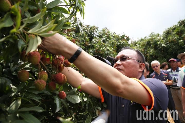 農委會林聰賢率領先派遣8人部隊前往大樹荔枝園,支援玉荷包荔枝採收。記者劉學聖/攝影