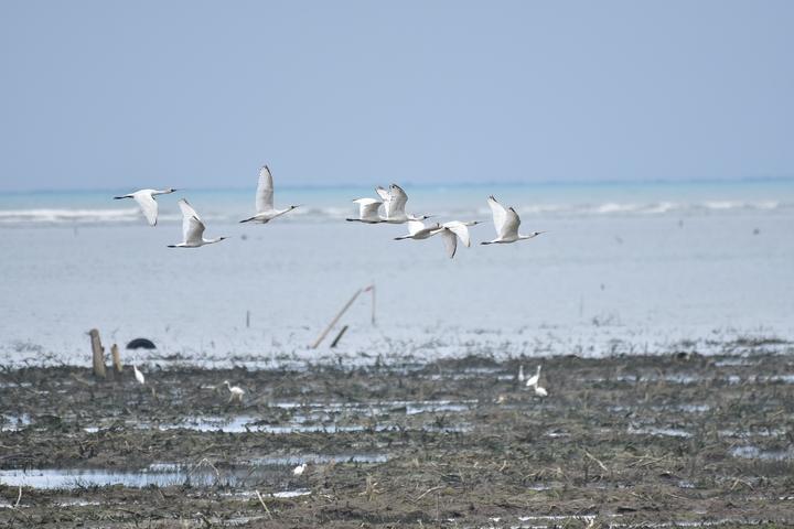 全球瀕危鳥種黑面琵鷺抵達香山濕地,在大庄區和金城湖區都能看到過境休息覓食的黑面琵鷺群體,今年北返群體過境香山濕地的數量,較去年增加2.5倍,目前統計已有113隻來到香山濕地休息覓食。圖/新竹市政府提供