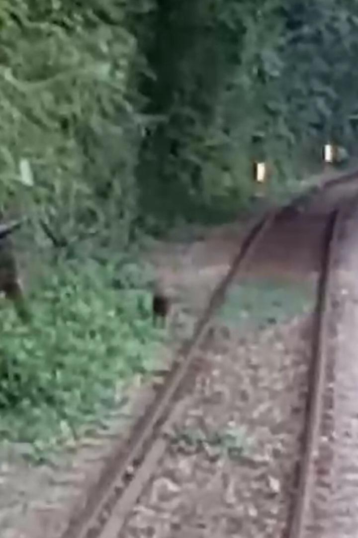 台鐵平溪線有人拍到一段山羌和火車賽跑的影片,讓人嘖嘖稱奇。圖/民眾提供