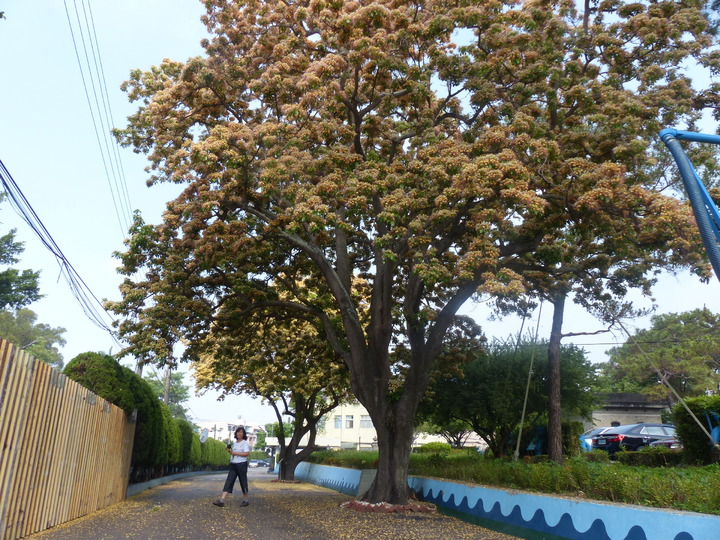 位在彰化市的自水來公司第11區管理處的「後花園」裡,正兩棵估計有百年歷史的台灣原生種魚木,滿樹開滿了澄黃花朵,蔚為奇觀,美不勝收。記者劉明岩/攝影