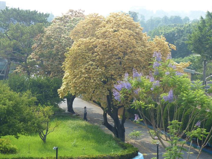 位在彰化市的自水來公司第11區管理處的「後花園」裡,兩棵估計有百年歷史的台灣原生種魚木,滿樹開滿了澄黃花朵,蔚為奇觀,美不勝收。記者劉明岩/攝影