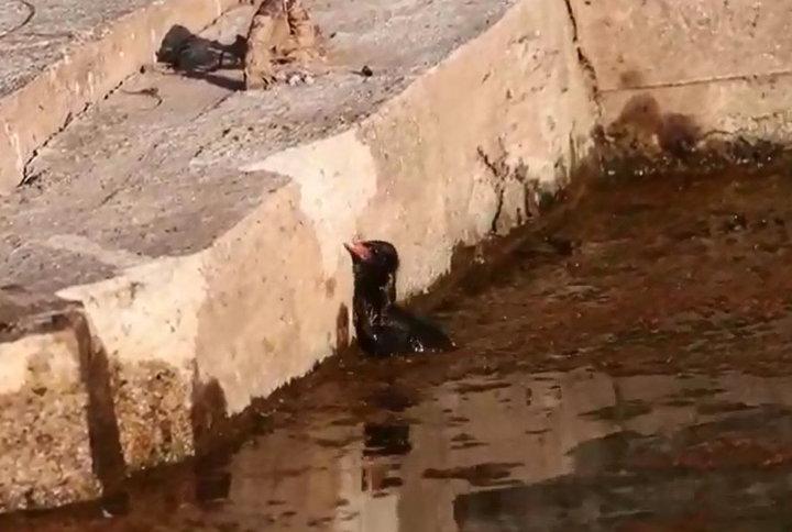 紅冠水雞幼鳥掉進溪裡,數度作勢上岸卻徒勞無功,根本無法自行爬上岸。圖/洪廷維提供