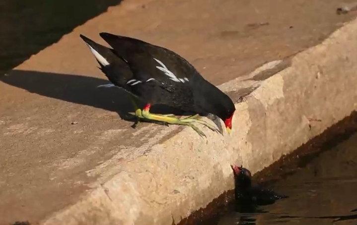 紅冠小水雞幼鳥掉進溪裡,根本無法自行爬上岸,親鳥束手無策,只能在旁焦急等候。圖/洪廷維提供