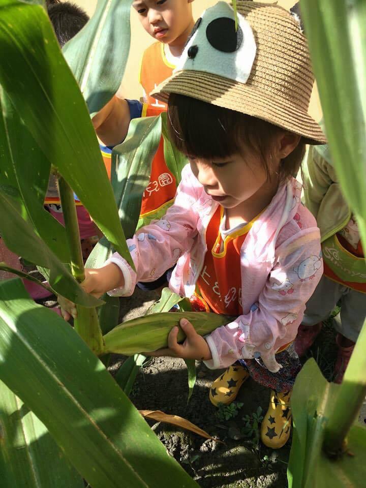 這次義賣的糯玉米是幼兒園的小朋友自己種的,從鬆土、播種、澆水、施肥到採收,整個過程都由老師帶著小朋友進行。圖/上上幼兒園提供