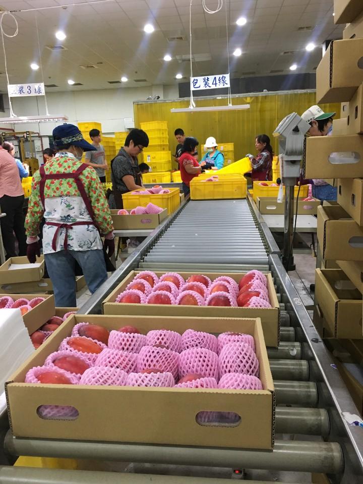 台南市農業局表示,玉井蒸熱廠已啟動,外銷通路也將在下周開跑。記者吳淑玲/攝影