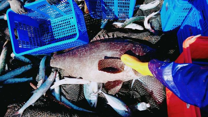 台東縣太麻里三和定置漁網今天上午意外捕獲72公斤重的龍膽石斑,研判是8年多前從屏東養殖池脫逃的龍膽石斑小魚。圖/漁民提供