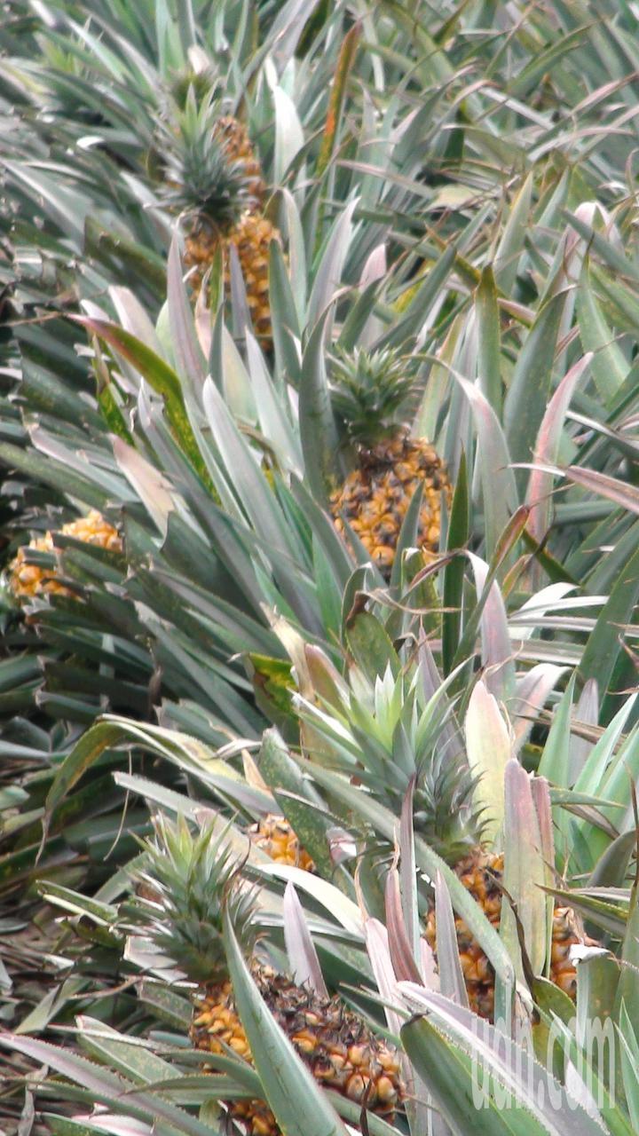 放棄採收的鳳梨在果園中爛掉。記者謝恩得/攝影