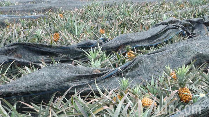 鳳梨價格太差,有的農民放棄採收。記者謝恩得/攝影