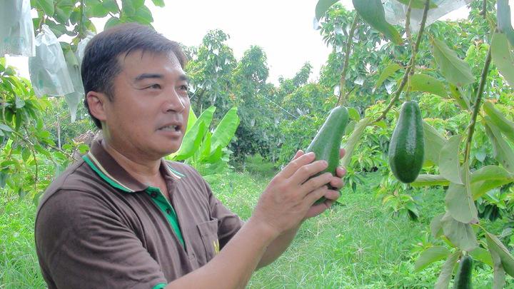 農民沈世政表示果園栽種10餘品種的酪梨,從7月採收到明年1月,圖中的黑美人酪梨很受歡迎。記謝恩得/攝影