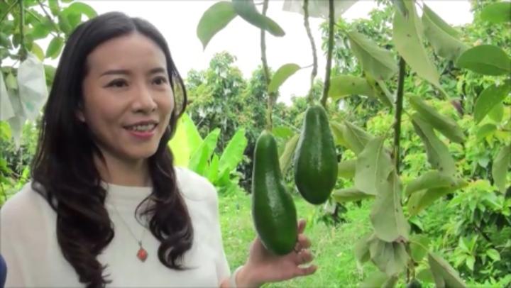 竹崎地區農會總幹事林孟怡表示將在嘉義竹崎和台北板橋,舉辦竹崎酪梨展售會。記者謝恩得/攝影