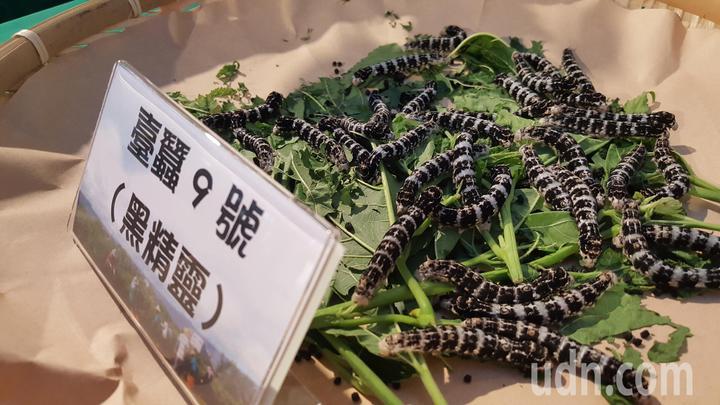 苗栗區農業改良場培育的台蠶9號「黑精靈」。記者胡蓬生/攝影