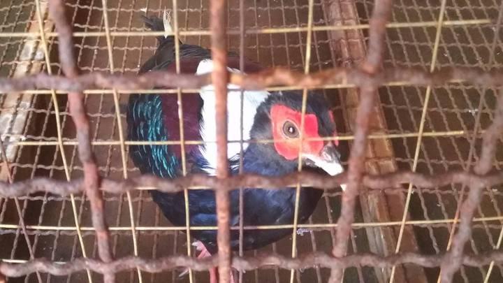藍腹鷴是台灣珍稀鳥類,難得一見,宜蘭縣礁溪鄉一家餐廳透過網路買了一對,養在店裡展示,想要藉此吸引顧客,沒想到,已經涉嫌觸犯野生動物保育法,被警方查獲送辦。圖/保七警察總隊第四大隊提供