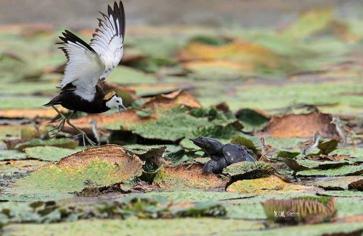 宜蘭難得成功孵化小水雉,卻遭到鱉探頭偷襲,水雉爸見狀奮不顧身,賣力揮動雙翅驅趕,「捨命護子」讓人感動。圖/拍鳥俱樂部蕭灑提供
